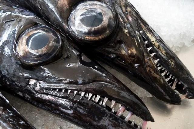 Gueules de poisson sabre