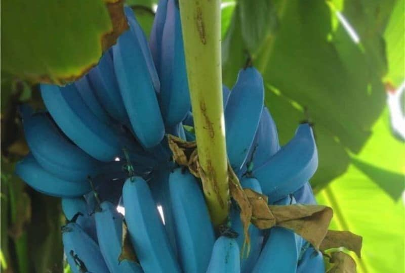 Bananes Blue Java