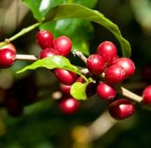 Planta café arabica