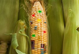 maiz trans