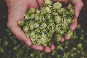 Hopfen, Wasser und Malz sind die Ingredienzen für gutes Bier.