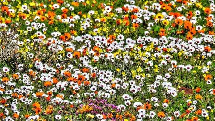 West Coast daisies