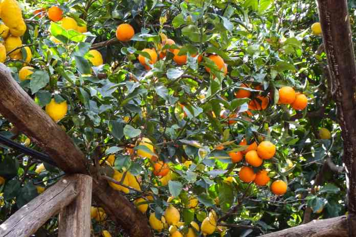 Oranges and lemons in Sorrento