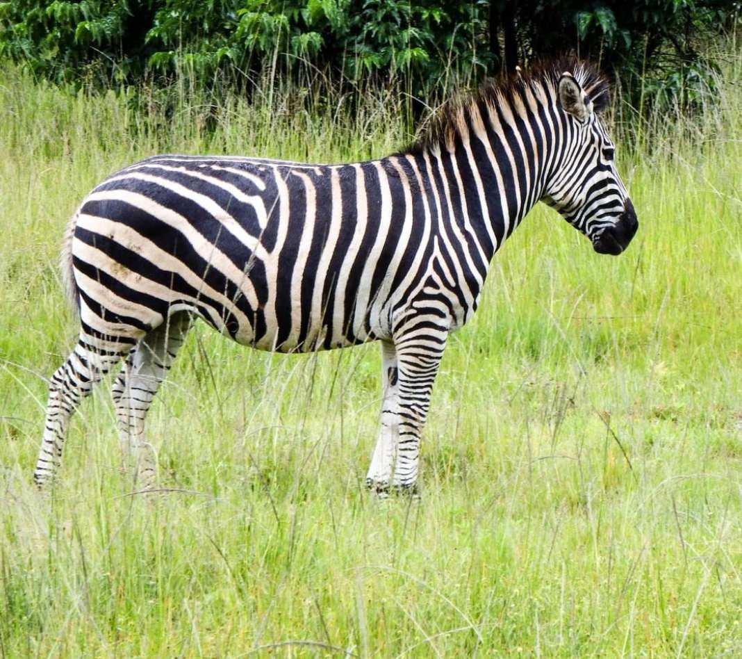 Zebra at Leopard Rock