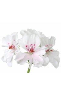 Geranium Pelargonium graveolens
