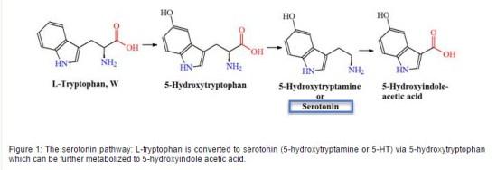tryptophan to serotonin