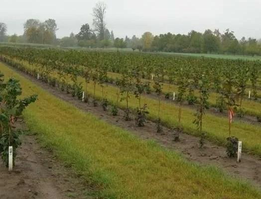 image for Plantaciones de Avellanos en Chile