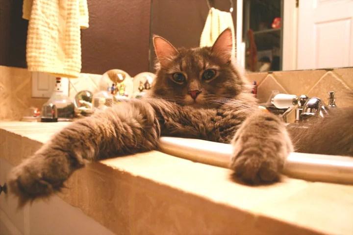 Gato grande