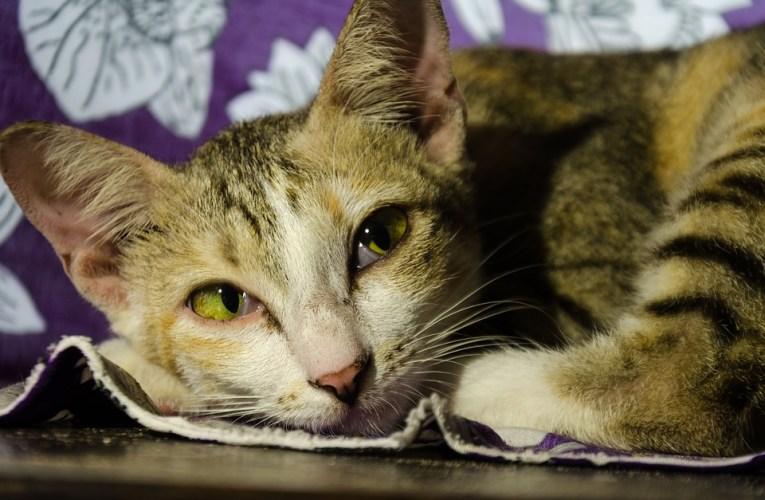 Malattie della pelle da allergie nei gatti: Granuloma Eosinofilo