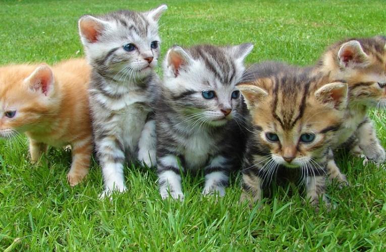 Cura post-natale del gatto e dei suoi gattini