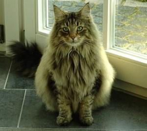 gatto norvegese