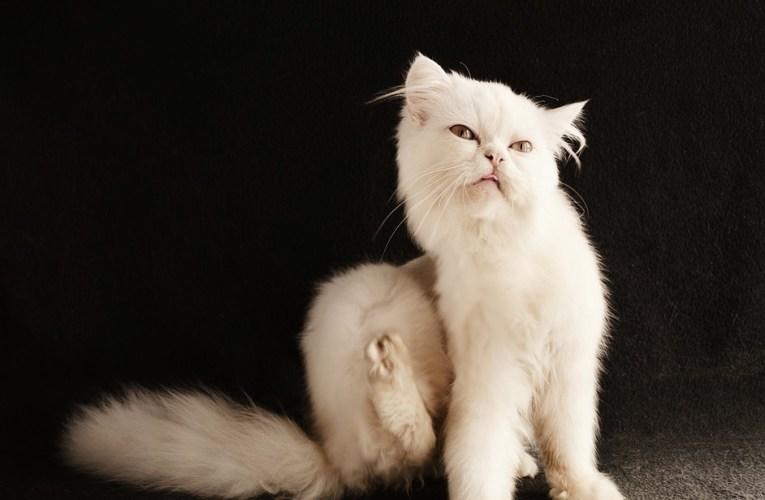 Gatti e Parassiti : Pulci e Zecche