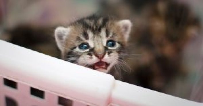 Gattino egiziano