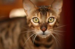 gatto_bengala