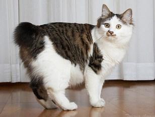 Gatto dell isola di Man, senza coda bianco
