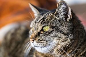 gatto-miagolio