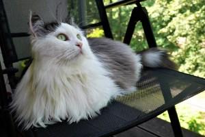 gatto-siberiano-sdraiato