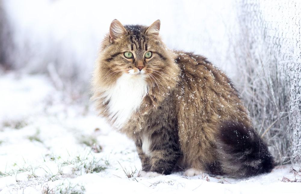 Il Gatto Siberiano Carattere E Prezzo Gatto Blog