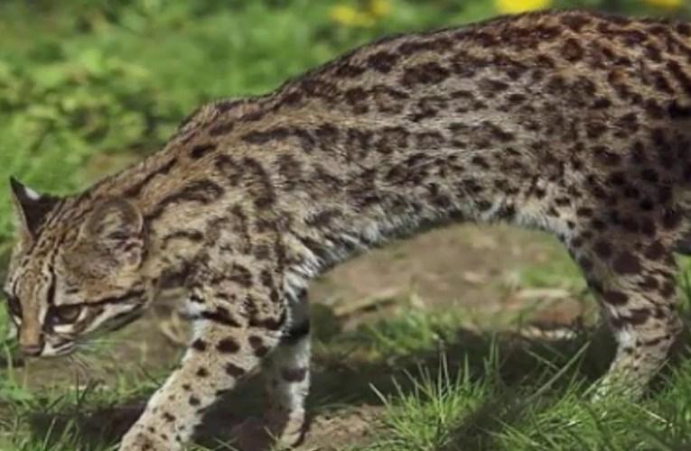 Gatto tigre: oncilla