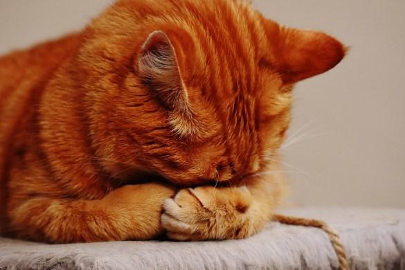 diabete-gatto-foto