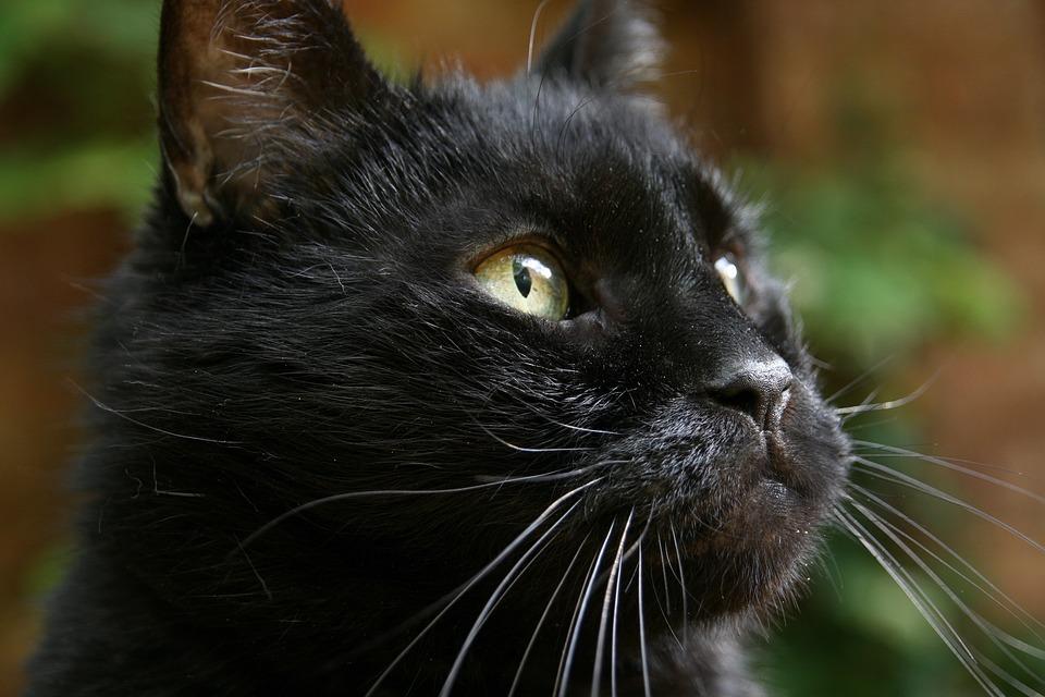 bombay-gatto-foto