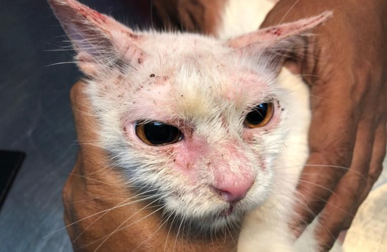 Rogna e scabbia nei gatti