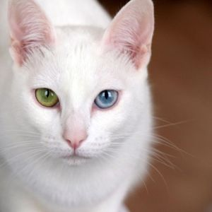 gatto Kao-mani