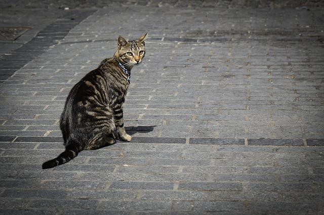 gatto-covid