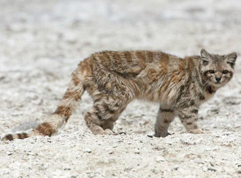 gatto delle ande avvistamento argentina mendoza estinzione