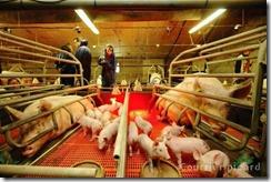 Les-eleveurs-de-porcs-tirent-la-sonnette-d-alarme_reference