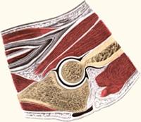 חתך אנטומי של המרפק