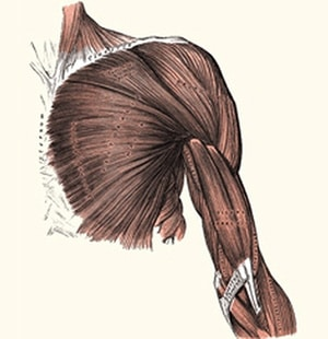שרירי הכתף