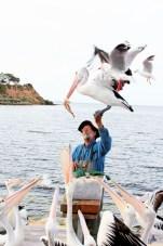 Pelican Feeding-Kingscote
