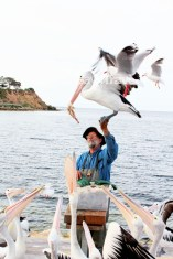 Pelican Feeding-Kingscote