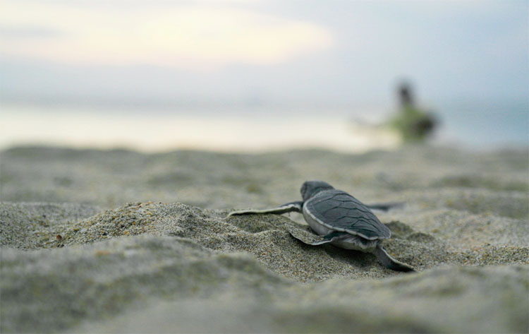 A turtle hatchling running to the sea