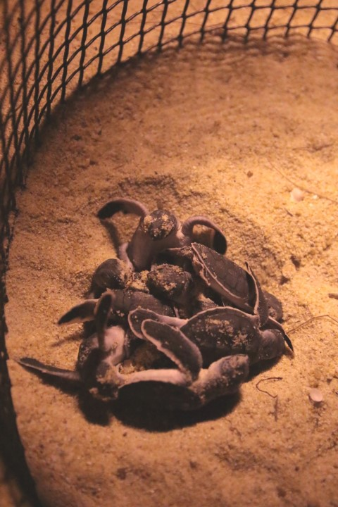 Baby turtles just hatched at the turtle hatchery in Setiu