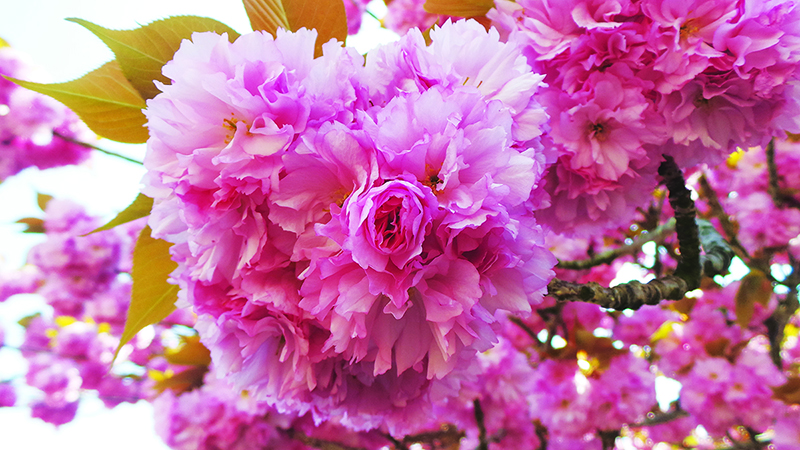 Issue 11.2 : Blooming Japan: Best Places to Go During Spring
