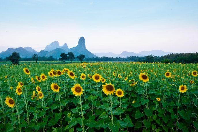 Lopburi sunflower field