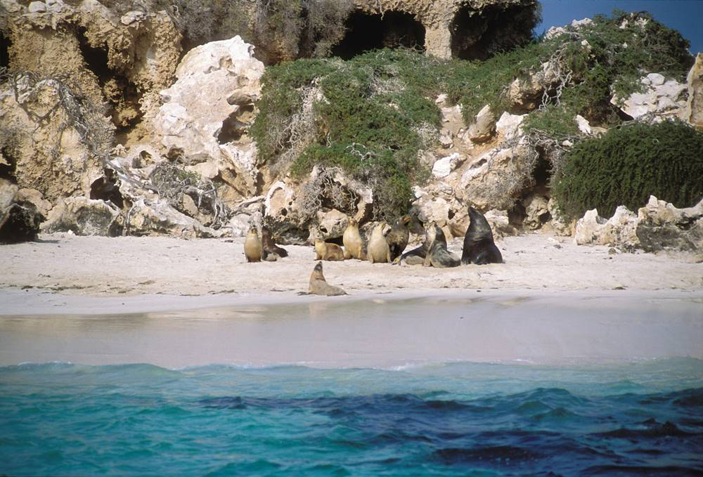 Australian Sea Lions (Neophoca cinerea) on the beach at North Essex Rocks in the Jurien Bay Marine Park (Picture Credit: Tourism Western Australia)