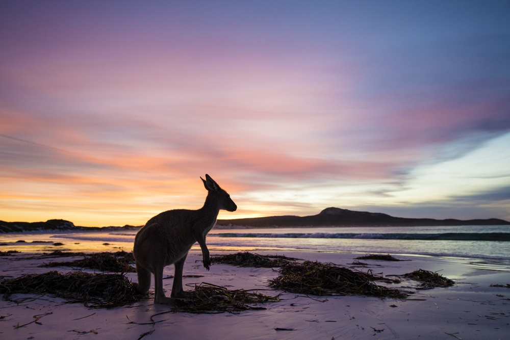 Kangaroo at Lucky Bay, Cape Le Grand National Park. (Picture credit: Tourism Western Australia)