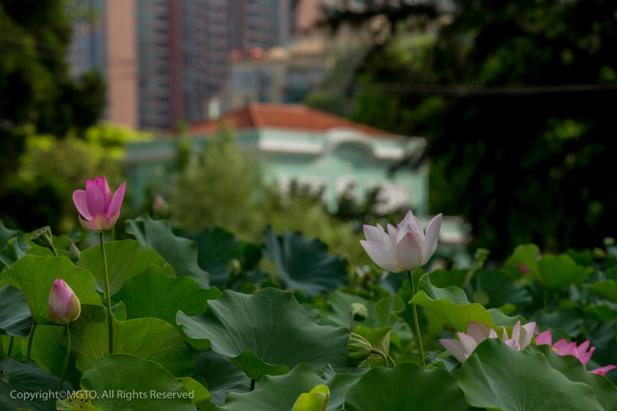 20th Macao Lotus Flower Festival from 5 to 14 June