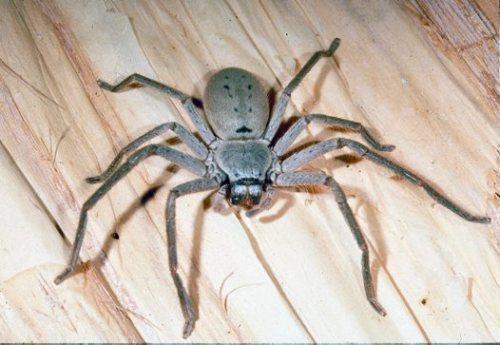 Huntsman Spider - Up to 13cm
