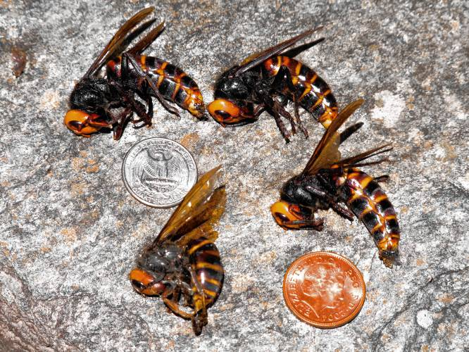 Murder Hornet Hysteria Takes Toll On Beneficial Bees