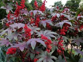 WHY YOU MUST START CASTOR BEAN FARMING NOW