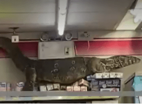 Giant Monitor Lizard found climbing provisions in Thailand store