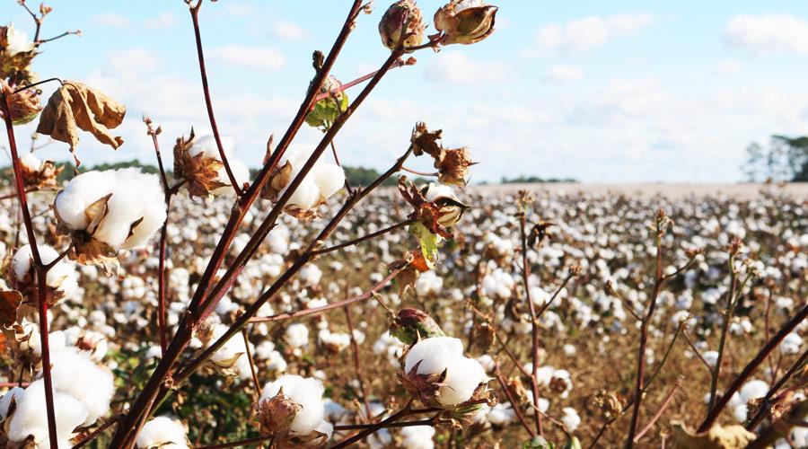 BCI premiará inovações no algodão