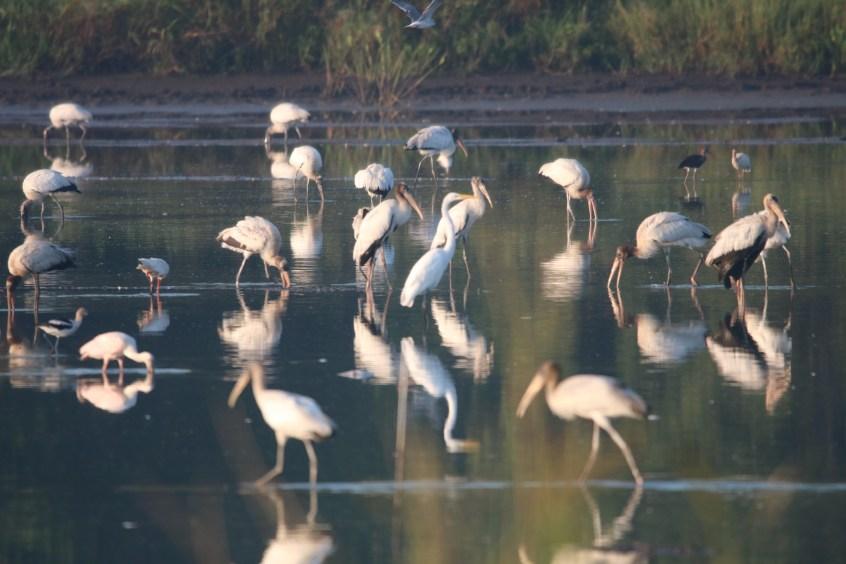 wood storks in crawfish ponds