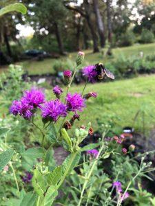 missouri ironweek purple flowers