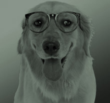 Golden Retriever Eye Exam