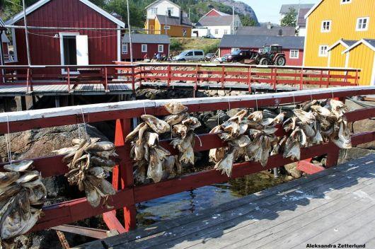 Lofoty, osada Nusfjord. Dosuszają sie rybie łby. Trochę śmierdziało....